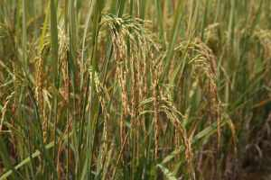 2_Rice-Type1_07