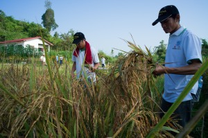 NNP1 technicians are working with local farmers to develop appropriate rice strains and other crops at the demonstration farm in the Houaysoup resettlement area.(Photo: NNP1/Chakrit Duangjai).